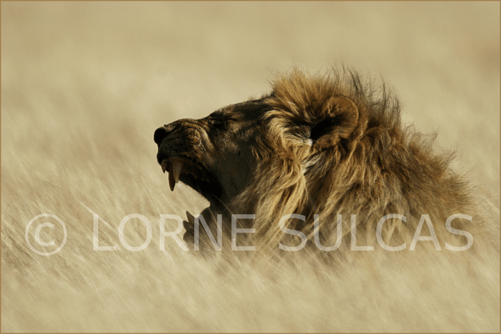 Motivational Speaker - Lorne Sulcas - The Big Cat Guy - Wildlife Photos - c13