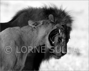 Motivational Speaker - Lorne Sulcas - The Big Cat Guy - Wildlife Photos - 23b