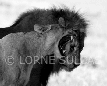 Motivational Speaker - Lorne Sulcas - The Big Cat Guy - Wildlife Photos - c14