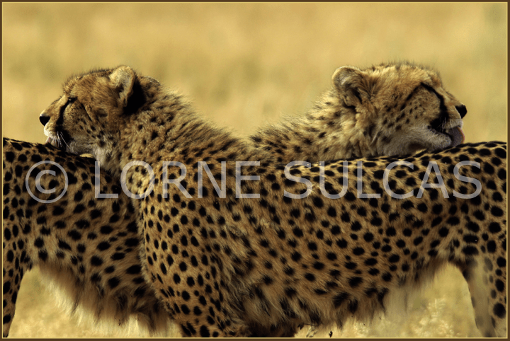 Motivational Speaker - Lorne Sulcas - The Big Cat Guy - Wildlife Photos - c19