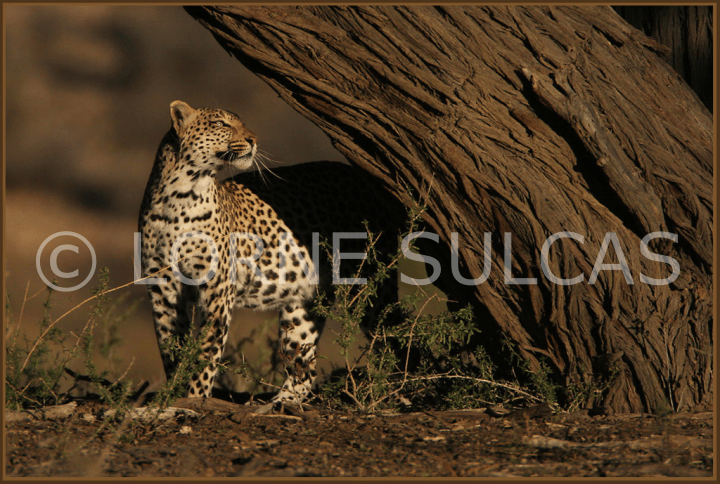 Motivational Speaker - Lorne Sulcas - The Big Cat Guy - Wildlife Photos - c20