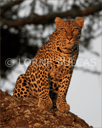 Motivational Speaker - Lorne Sulcas - The Big Cat Guy - Wildlife Photos - c11