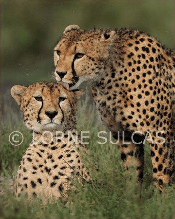 Motivational Speaker - Lorne Sulcas - The Big Cat Guy - Wildlife Photos - c12