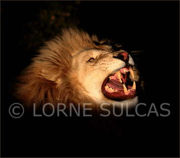 Motivational Speaker - Lorne Sulcas - The Big Cat Guy - Wildlife Photos - c8