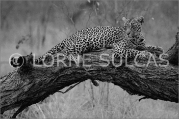 Motivational Speaker - Lorne Sulcas - The Big Cat Guy - Wildlife Photos - c15