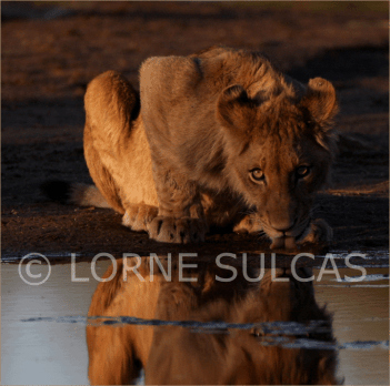 Motivational Speaker - Lorne Sulcas - The Big Cat Guy - Wildlife Photos - c9