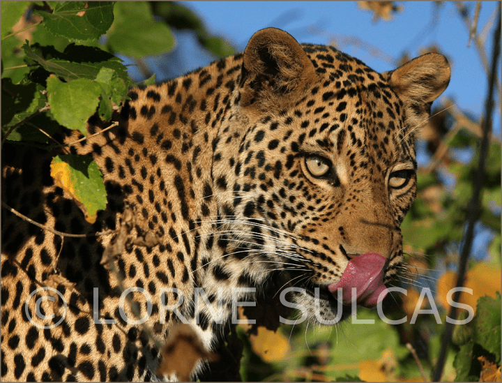 Motivational Speaker - Lorne Sulcas - The Big Cat Guy - Wildlife Photos - c2