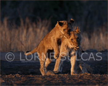 Motivational Speaker - Lorne Sulcas - The Big Cat Guy - Wildlife Photos - c4
