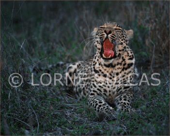 Motivational Speaker - Lorne Sulcas - The Big Cat Guy - Wildlife Photos - c5