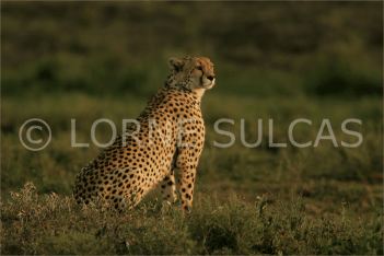 Motivational Speaker - Lorne Sulcas - The Big Cat Guy - Wildlife Photos - c16