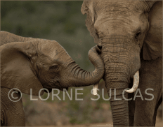 Motivational Speaker - Lorne Sulcas - The Big Cat Guy - Wildlife Photos - c27