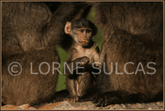 Motivational Speaker - Lorne Sulcas - The Big Cat Guy - Wildlife Photos - c26