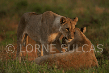 Motivational Speaker - Lorne Sulcas - The Big Cat Guy - Wildlife Photos - 4c